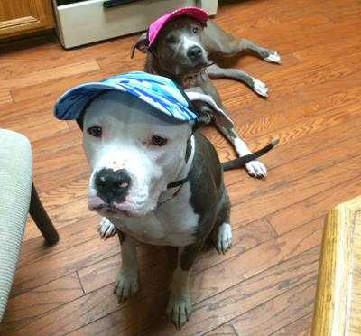"How do you make people less afraid of your ""pit bull""? Accessorize them!"